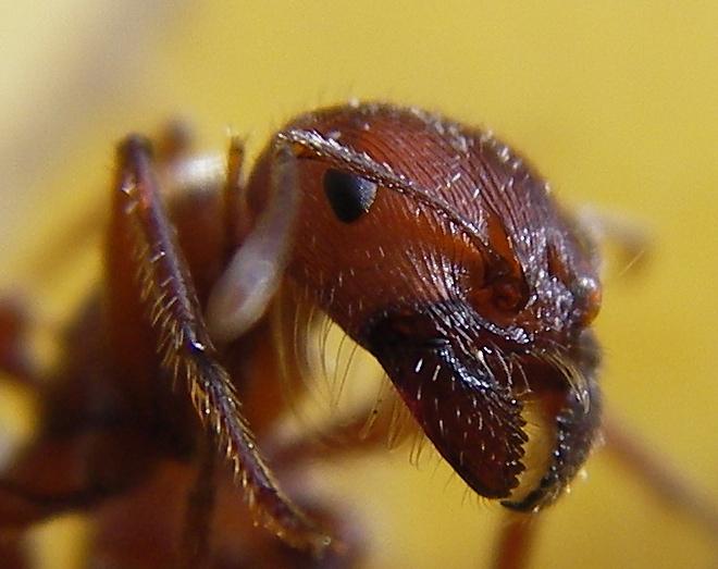 creative commons ant