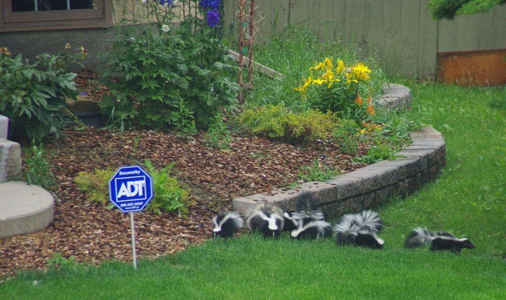 Mom and six baby skunks across the street from us - aren't they adorable?