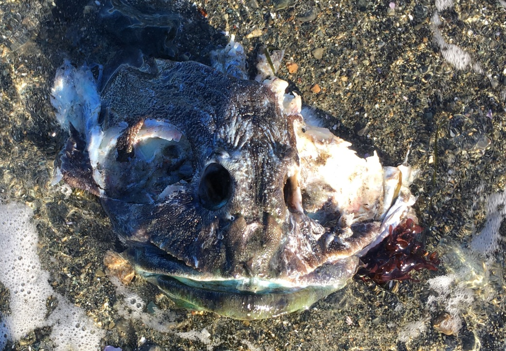 I have no idea what creature wore this head before I found it bobbing gently in the surf. It was nearly ten inches across and it looked like some hideous sea monster, although although it's probably a mundane fish to a true West-Coaster. But I'm going with 'sea monster'.