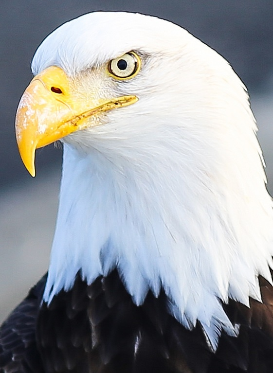 Bald eagle not amused by my feeble human joke. (Public Domain photo from United States Fish And Wildlife Service.)